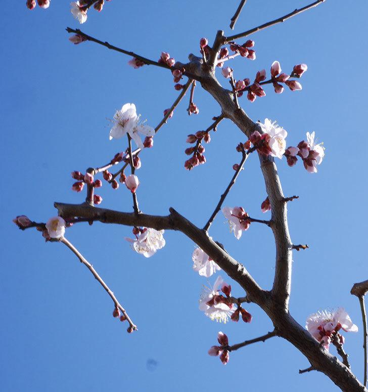 梅の花が増えて来た。2020年-3.jpg