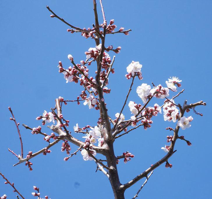 梅の花が増えて来た。2020年-5.jpg
