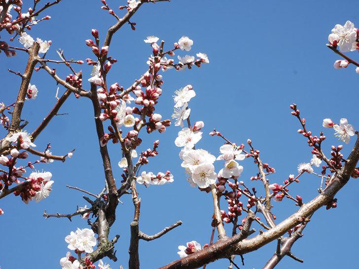 梅の花が増えて来た。2020年-6.jpg