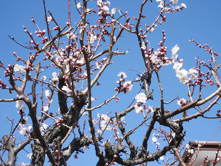 梅の花が増えて来た。2020年-7.jpg