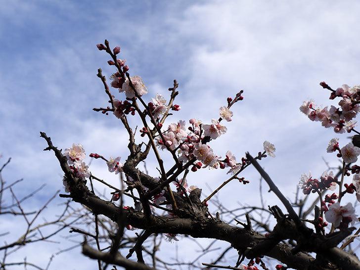 梅の花が更に咲いた。2015年-1.jpg
