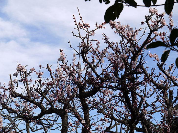 梅の花が更に咲いた。2015年-2.jpg