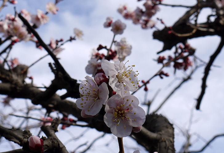 梅の花が更に咲いた。2015年-3.jpg