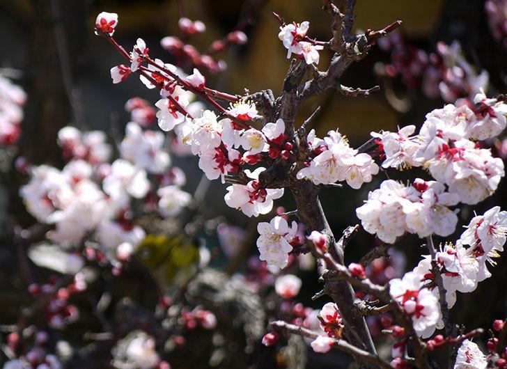 梅の花が更に咲いた。2015年-4.jpg