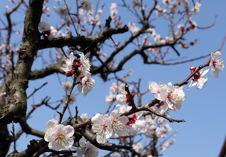 梅の花が更に咲いた。2016年-2.jpg