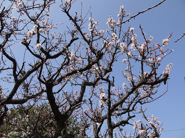梅の花が更に咲いた。2016年-3.jpg