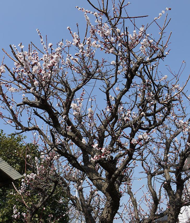 梅の花が更に咲いた。2016年-5.jpg