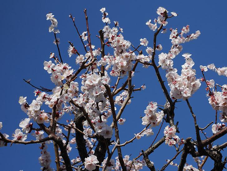 梅の花が満開になった。2020年-1.jpg