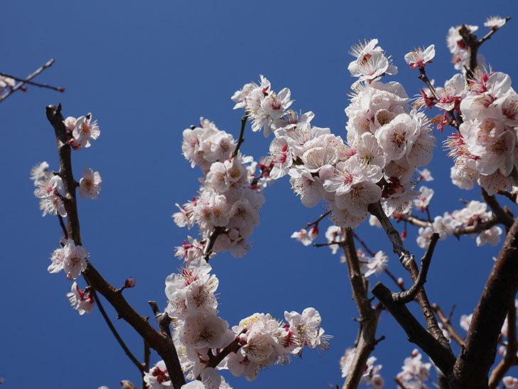 梅の花が満開になった。2020年-10.jpg