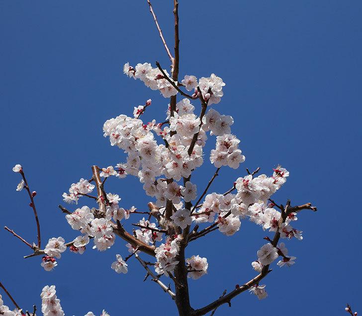梅の花が満開になった。2020年-11.jpg