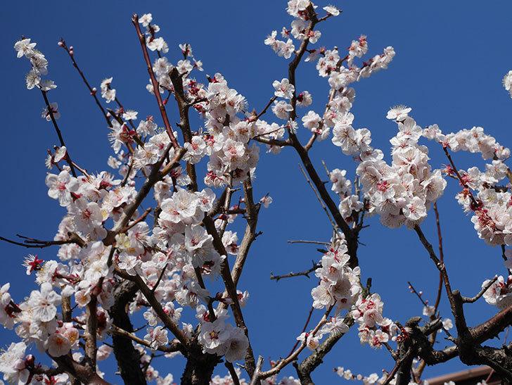 梅の花が満開になった。2020年-12.jpg