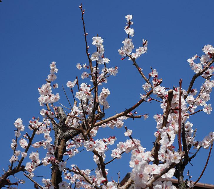 梅の花が満開になった。2020年-13.jpg