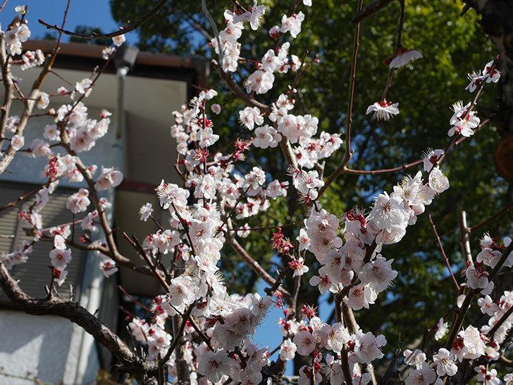 梅の花が満開になった。2020年-4.jpg