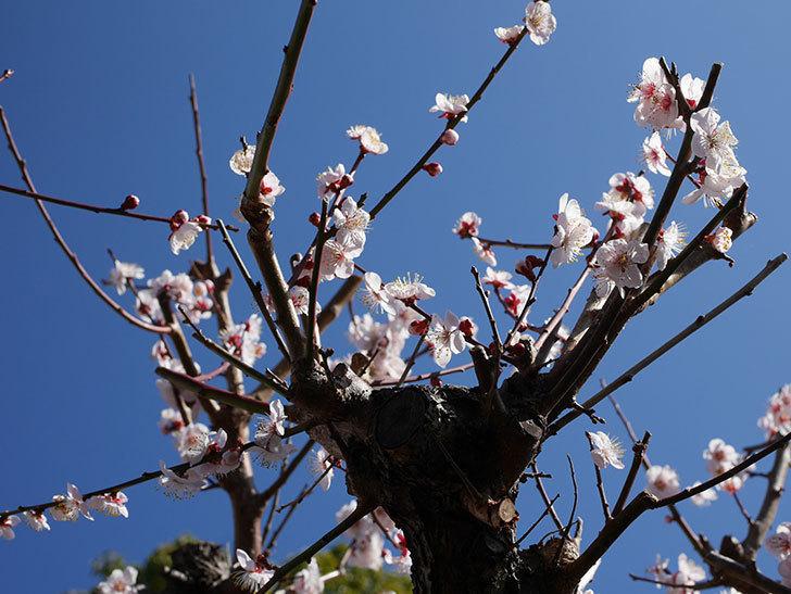 梅の花が満開になった。2020年-5.jpg