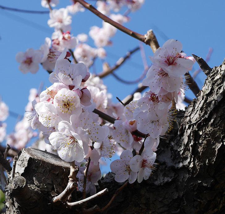 梅の花が満開になった。2020年-6.jpg