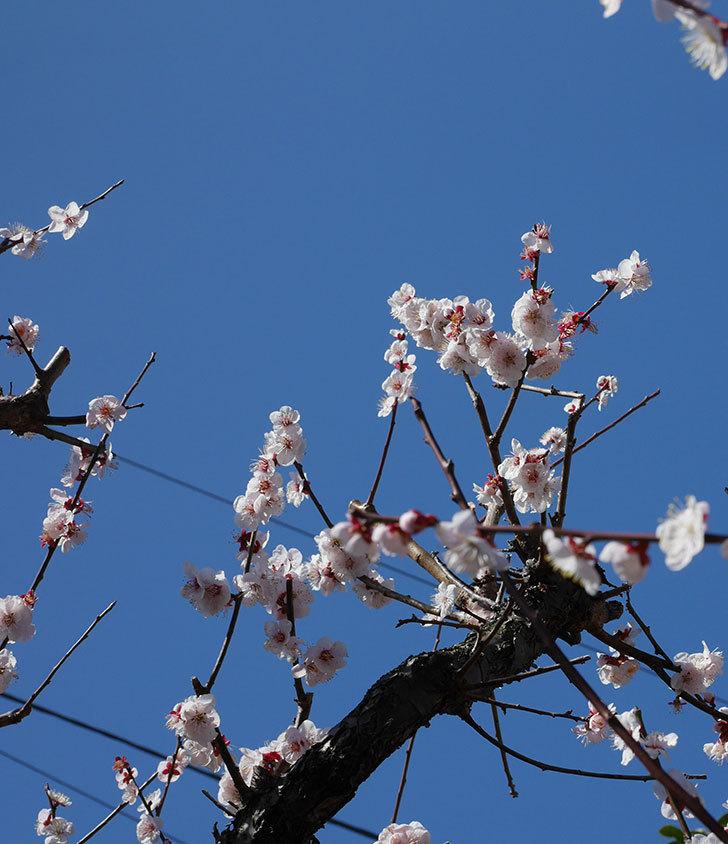 梅の花が満開になった。2020年-7.jpg