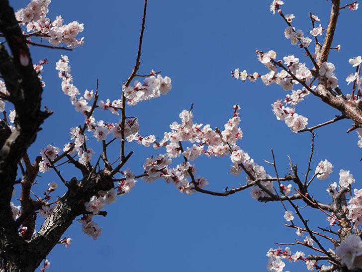 梅の花が満開になった。2020年-9.jpg