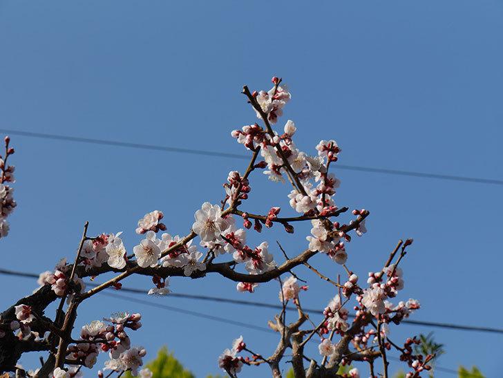 梅の花が満開になった。2021年-001.jpg