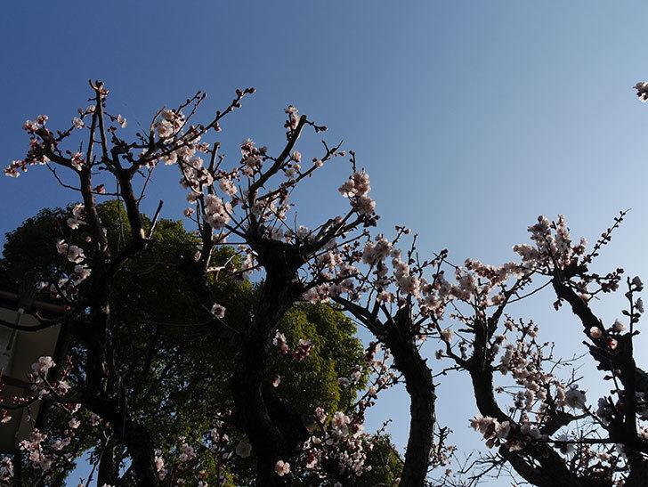 梅の花が満開になった。2021年-002.jpg