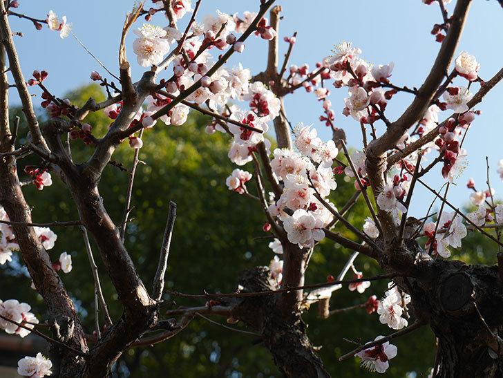 梅の花が満開になった。2021年-003.jpg
