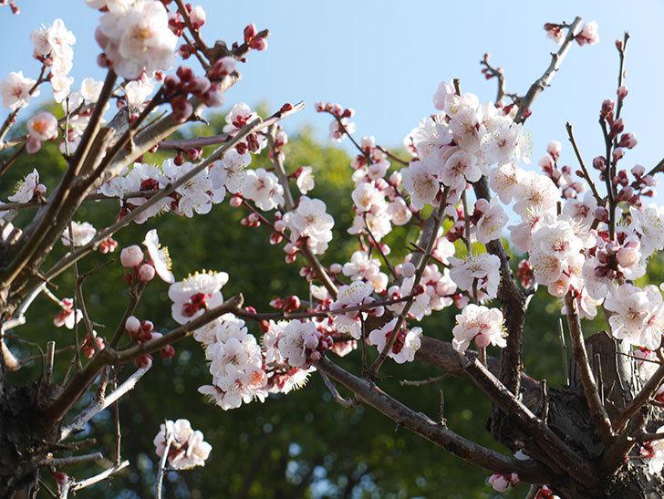 梅の花が満開になった。2021年-004.jpg