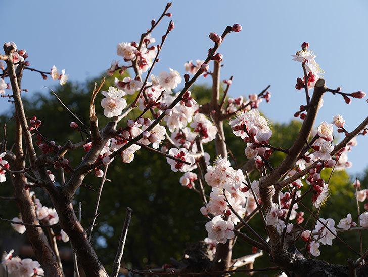 梅の花が満開になった。2021年-005.jpg