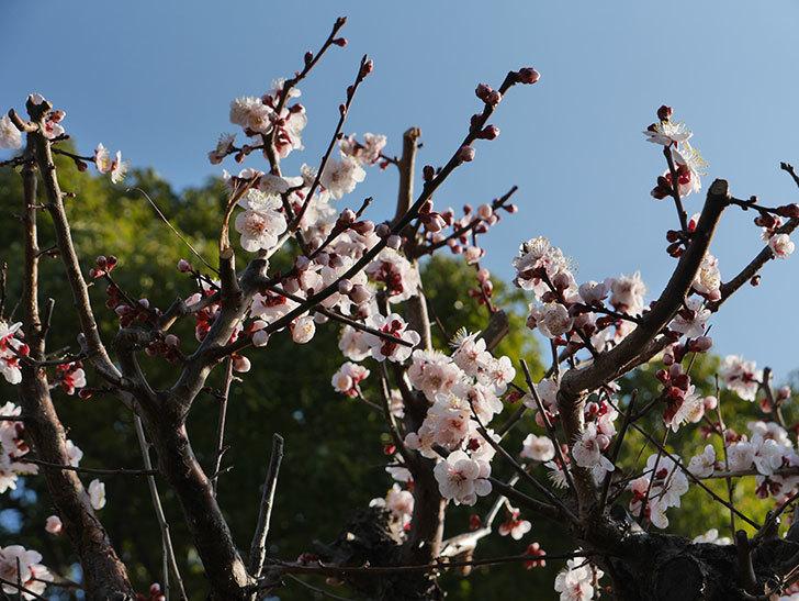 梅の花が満開になった。2021年-006.jpg