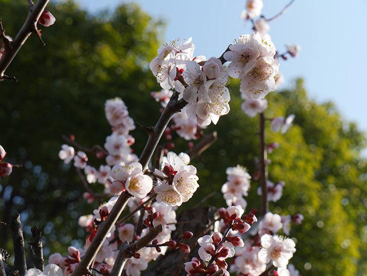 梅の花が満開になった。2021年-007.jpg