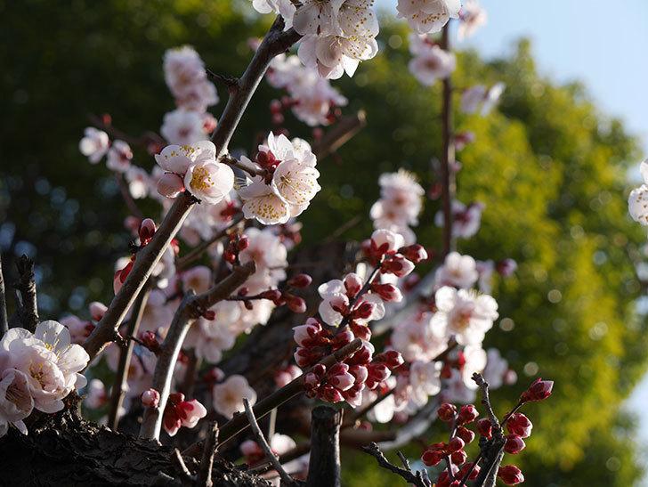 梅の花が満開になった。2021年-008.jpg