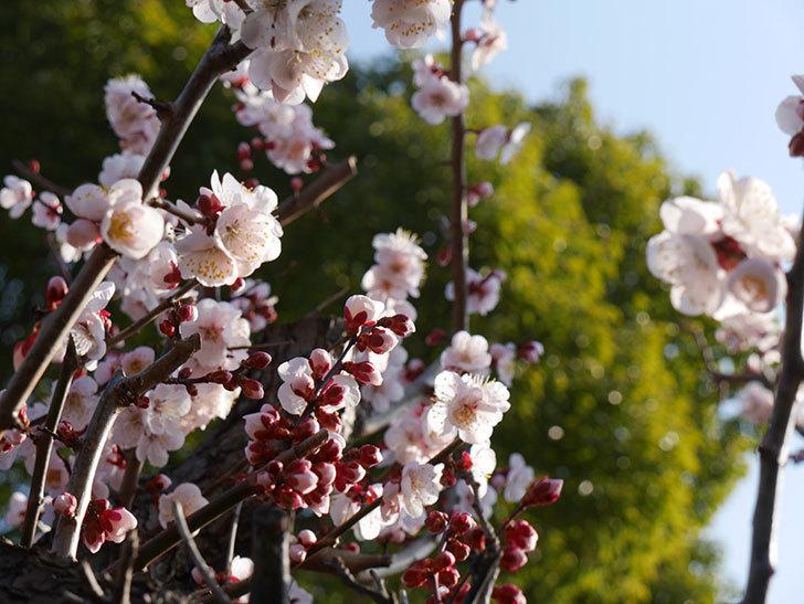 梅の花が満開になった。2021年-009.jpg