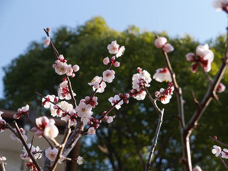 梅の花が満開になった。2021年-010.jpg
