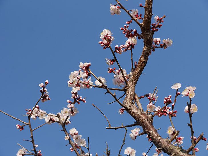 梅の花が満開になった。2021年-011.jpg