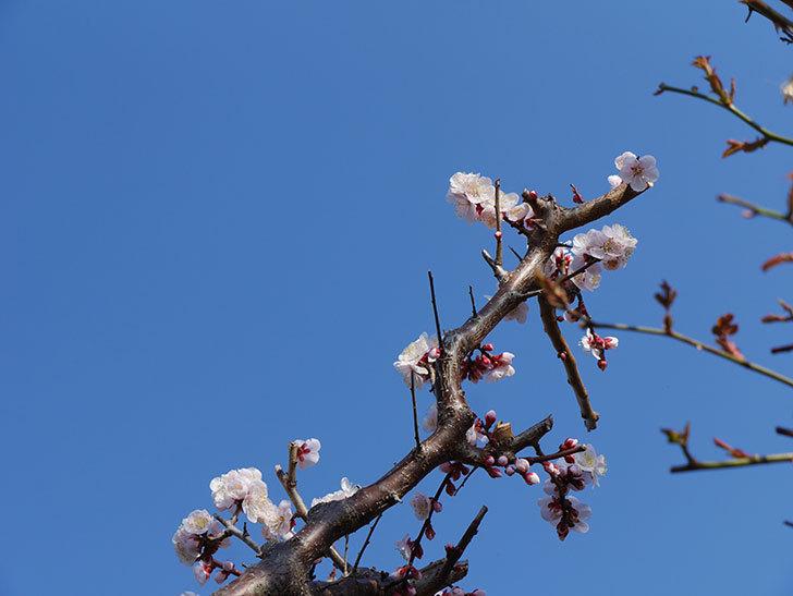 梅の花が満開になった。2021年-012.jpg