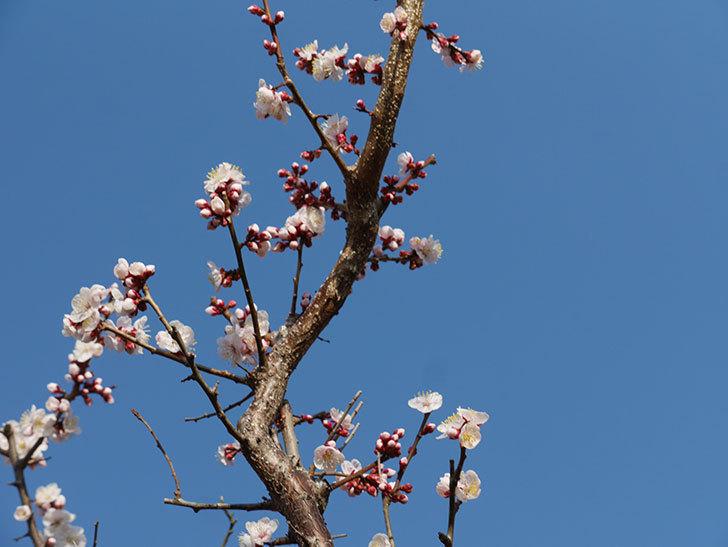 梅の花が満開になった。2021年-013.jpg