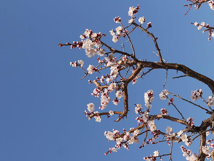 梅の花が満開になった。2021年-014.jpg