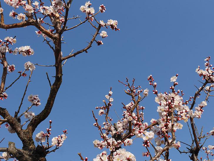 梅の花が満開になった。2021年-015.jpg