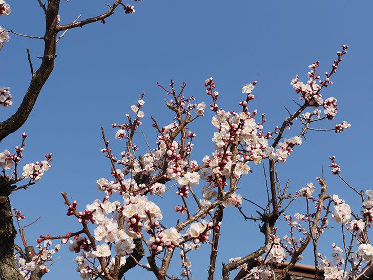 梅の花が満開になった。2021年-016.jpg