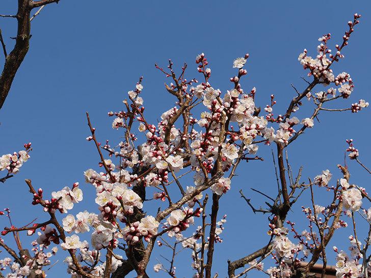 梅の花が満開になった。2021年-017.jpg