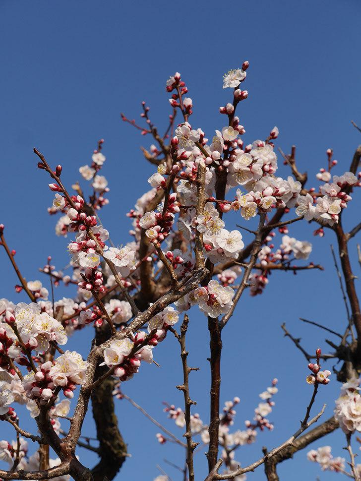 梅の花が満開になった。2021年-018.jpg