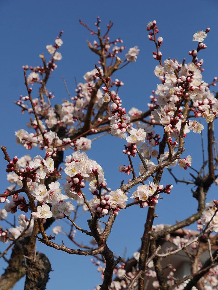 梅の花が満開になった。2021年-019.jpg