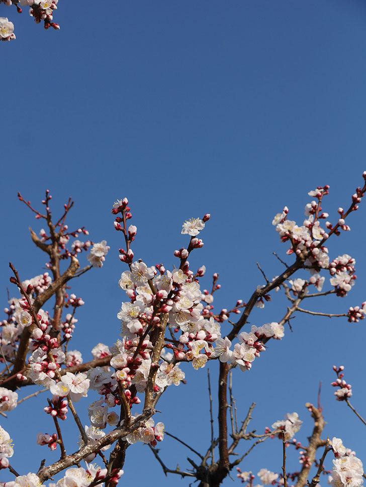 梅の花が満開になった。2021年-021.jpg