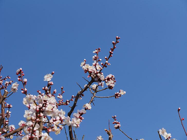 梅の花が満開になった。2021年-022.jpg