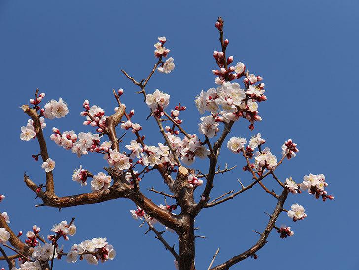梅の花が満開になった。2021年-023.jpg