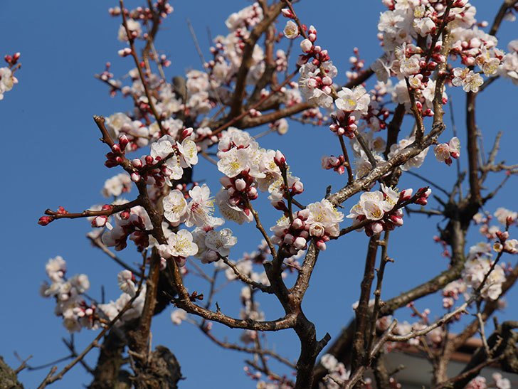 梅の花が満開になった。2021年-024.jpg
