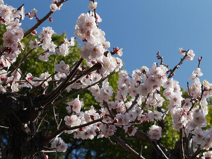 梅の花が満開になった。2021年-025.jpg