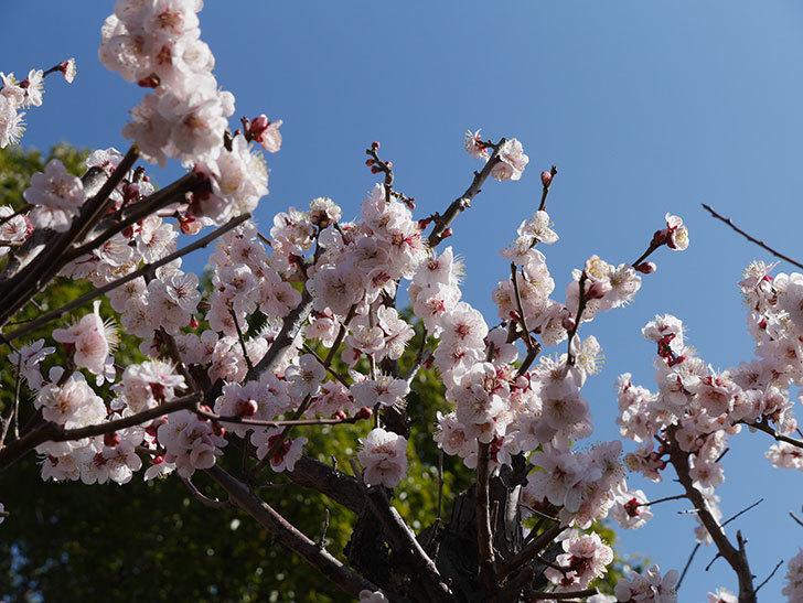 梅の花が満開になった。2021年-026.jpg