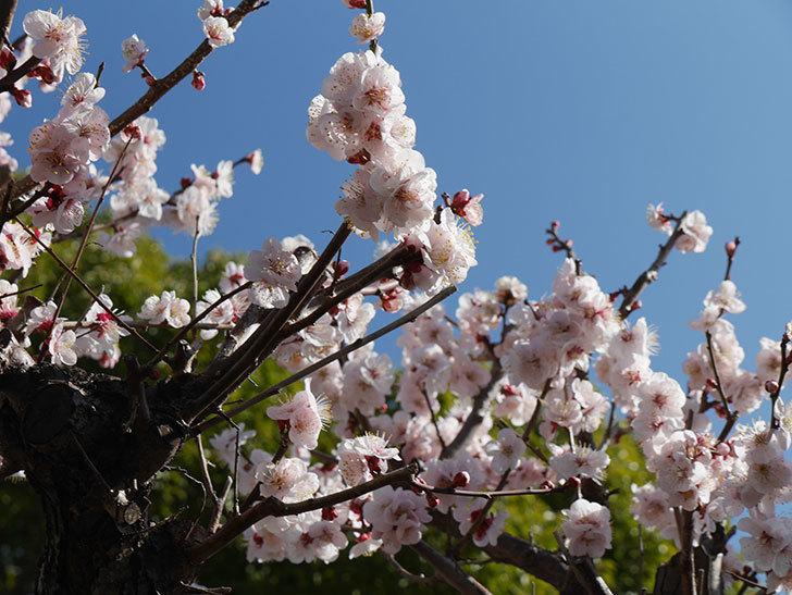 梅の花が満開になった。2021年-027.jpg