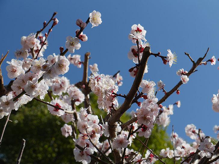 梅の花が満開になった。2021年-028.jpg