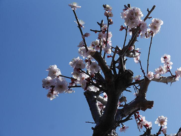 梅の花が満開になった。2021年-029.jpg