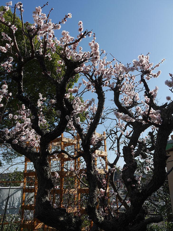 梅の花が満開になった。2021年-030.jpg